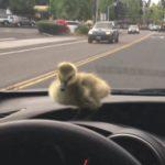 Майк Дживанджи спас гуся и попытался его отпустить, но тот вернулся