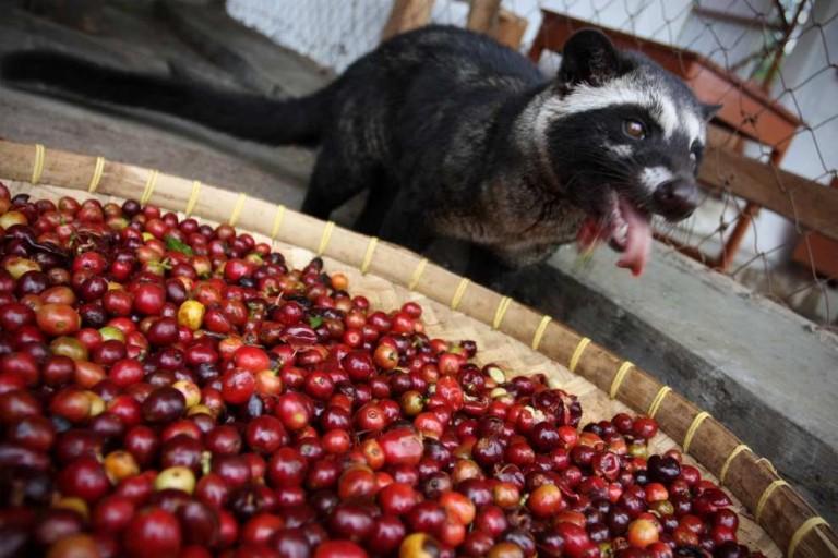 Копи-Лувак: как делают один из самых дорогих кофе в мире