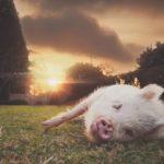 Эта свинка убеждена, что она щенок и ведет себя, как собачка