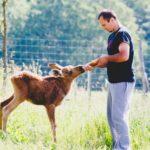 Эрикас Плукас спас юного лося, который после восстановления посещает спасителя каждый день