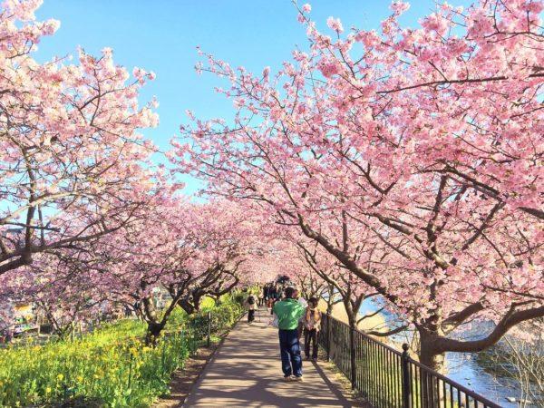 В поселке Кавадзу началось цветение сакуры