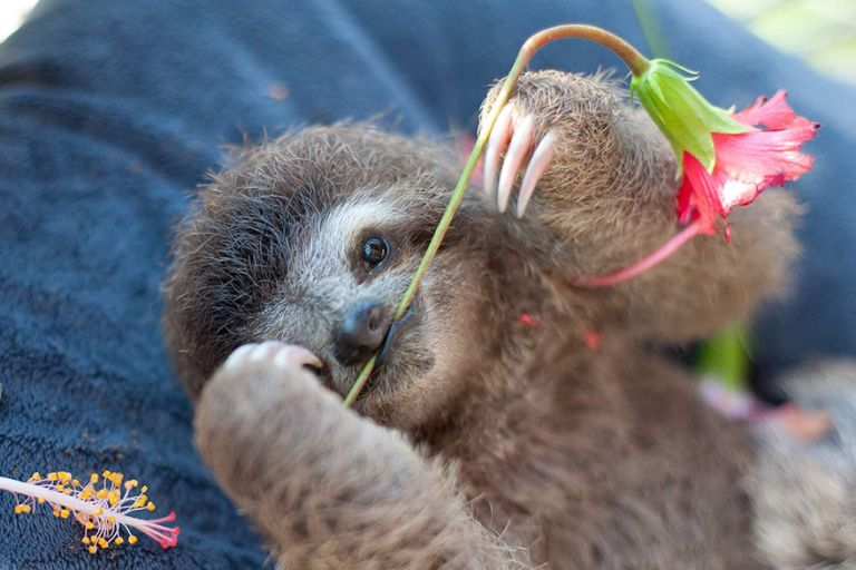 В Коста-Рике существует Институт помощи ленивцам