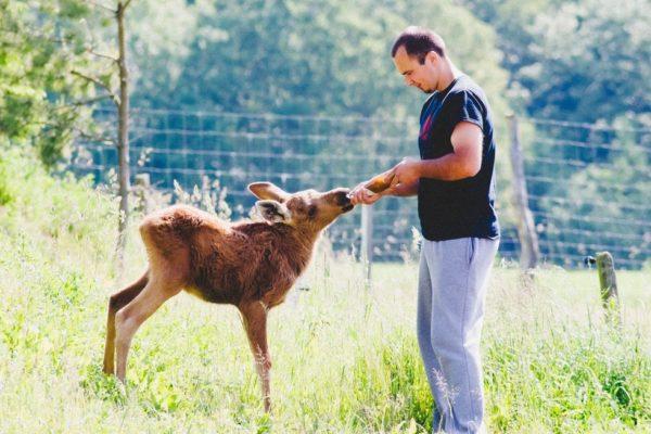 Эрикас Плукас спас юного оленя, который после восстановления посещает спасителя каждый день