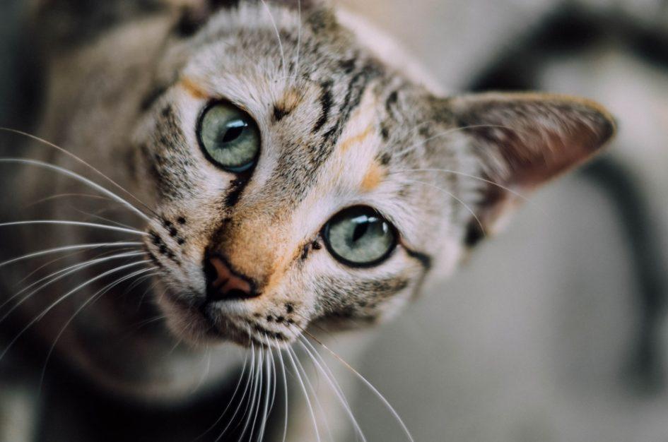 5 самых умных пород кошек