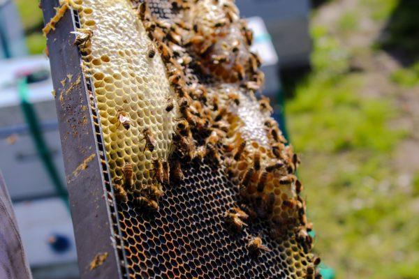 Медогонки в пчеловодстве что нужно знать