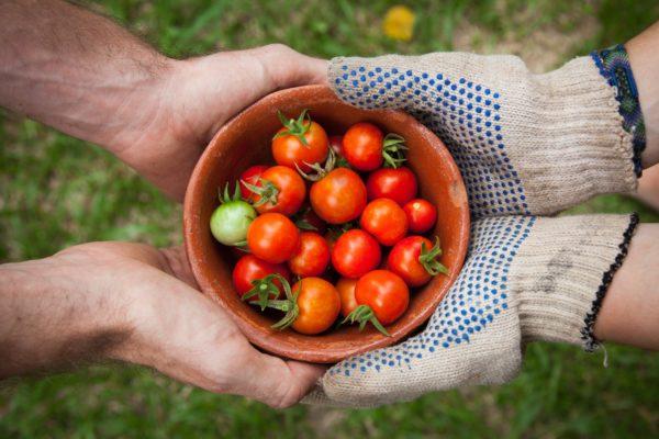 Выращивание помидоров в теплице, советы для начинающих