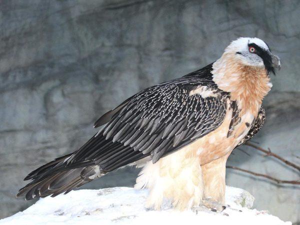 Птица Бородач