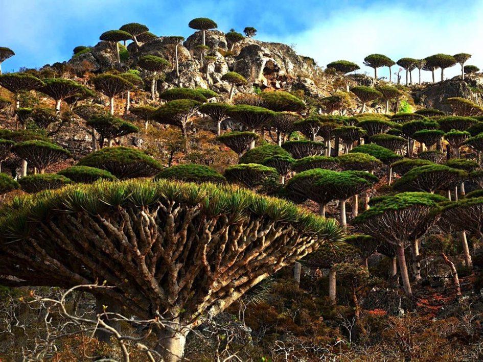 Сокотра - остров с необычными растениями