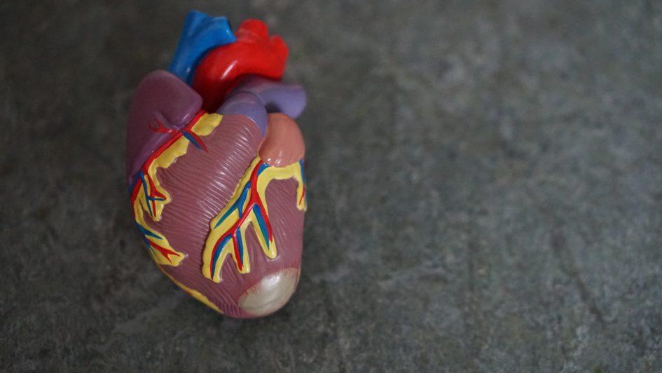 5 важнейших функций сердечно-сосудистой системы